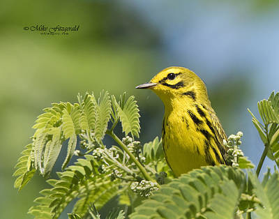 Photograph - Prairie Warbler by Mike Fitzgerald