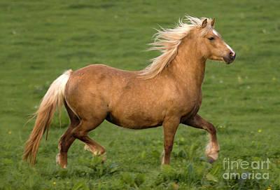 Palomino Horse Photograph - Prancing Pony by Angel Ciesniarska