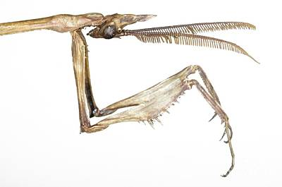 Greek Insects Photograph - Praying Mantis Head And Forelegs by Lawrence Lawry