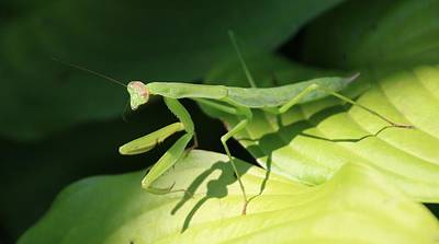 Photograph - Praying Mantis And Its Shadow by Karen Silvestri