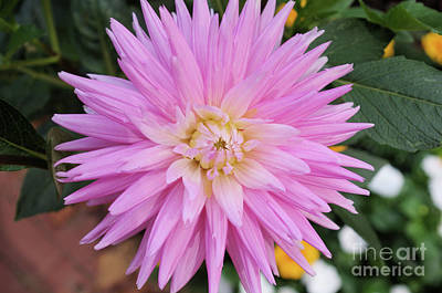 Photograph - Pretty In Pink by John S