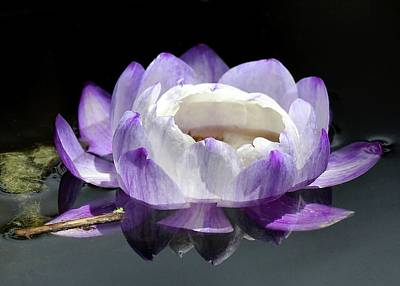 Lotus Lily Photograph - Pretty In Purple by Sabrina L Ryan