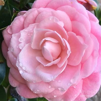 Pretty Pink Camellia Art Print by Carol Groenen