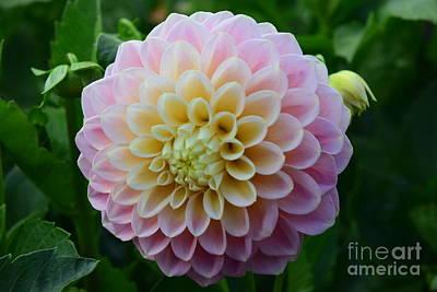 Photograph - Pretty Pink Dahlia by Jeannie Rhode