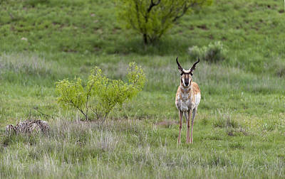 Kim Fearheiley Photography - Pronghorn Antelope Buck by Gary Langley