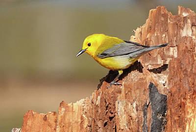 Photograph - Prothonotary Warbler by Jack Nevitt