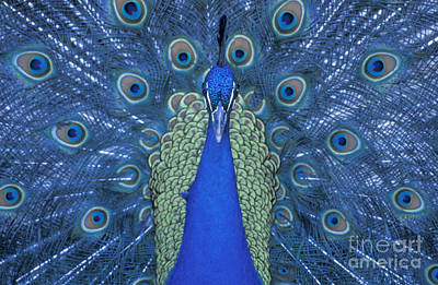 Photograph - Proud Peacock by Sandra Bronstein