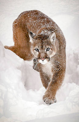 Photograph - Prowling Cougar by Athena Mckinzie
