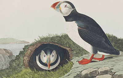 Puffin Painting - Puffin by John James Audubon