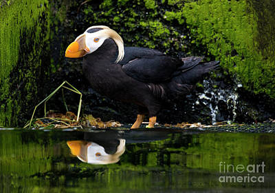 Puffin Reflected Art Print