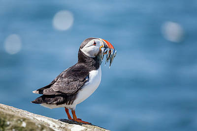 Puffin Wall Art - Photograph - Puffin With Fish For Tea by Anita Nicholson