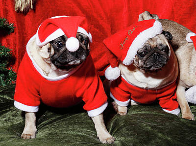 Photograph - Pugs Dressed As Father Christmas by Christian Lagereek