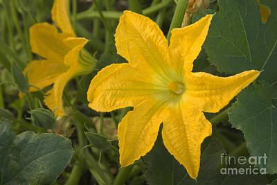 Pumpkin Fields Photograph - Pumpkin Flower On A Vine by Inga Spence