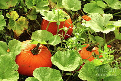 Photograph - Pumpkin Harvest by Christiane Schulze Art And Photography