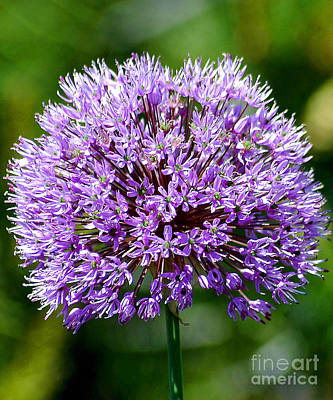 Photograph - Purple Allium by Robert  Suggs