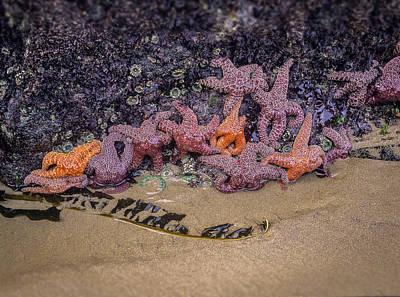 Photograph - Purple And Ochre Sea Stars by Robert Potts