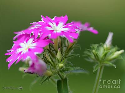 Photograph - Purple And White Dwarf Twinkling Beauty Phlox by J McCombie