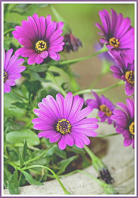 Photograph - Purple Aster Flowers by A Gurmankin