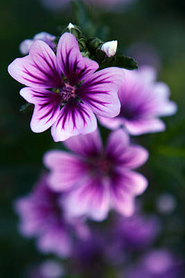 Photograph - Purple Beauties by Cherie Duran