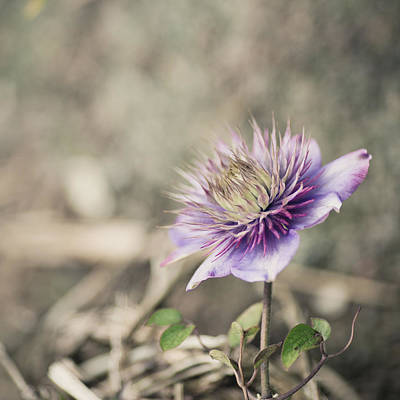 Photograph - Purple Clematis by Rebecca Cozart