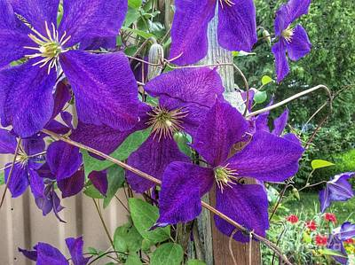 Clematis Painting - Purple Clematis Vine by Anne Sands