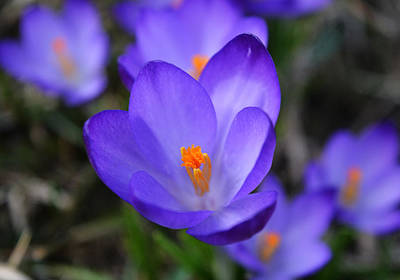 Purple Crocuses - 2015 Art Print
