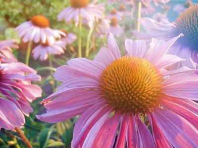 Photograph - Purple Daisies by JAMART Photography