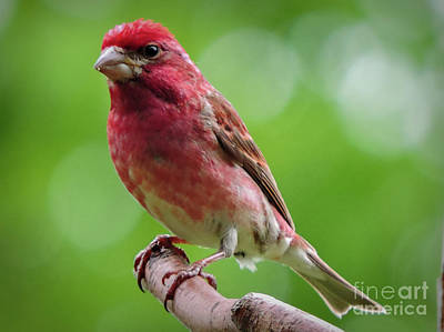 Photograph - Purple Finch by Mim White