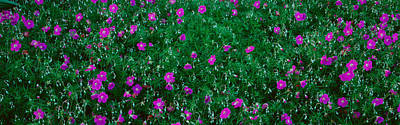 Ojai Wall Art - Photograph - Purple Flowers, Taft Gardens, Ojai by Panoramic Images