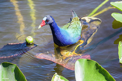 Photograph - Purple Gallinule by Fran Gallogly