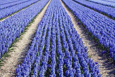 Dutch Hyacinth Photograph - Purple Hyacinths Fields by Andre Goncalves