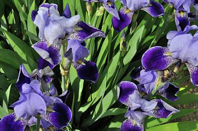 Photograph - Purple Iris by Diane Lent