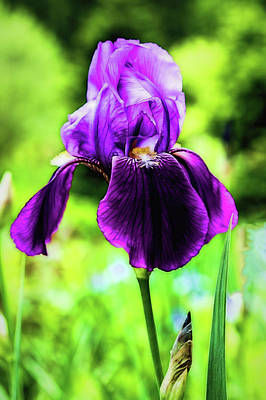 Wall Art - Photograph - Purple Iris by Jessica Manelis
