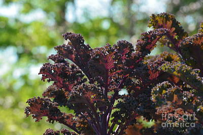 Photograph - Purple Kale by Maria Urso