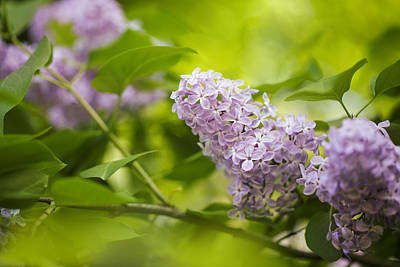 Shrub Photograph - Purple Lilac by Nailia Schwarz