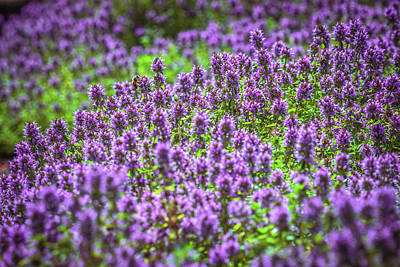 Photograph - Purple Meadow by Lilia D