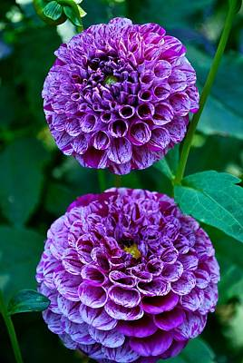 Purple Passion Dahlia  Art Print