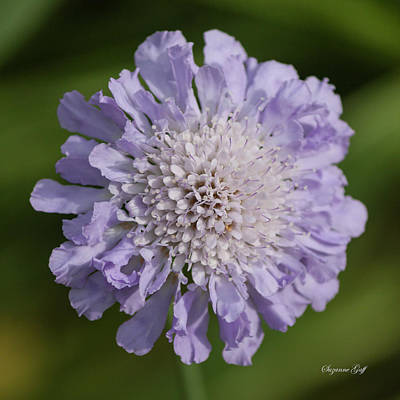 Photograph - Purple Pincushion Flower by Suzanne Gaff