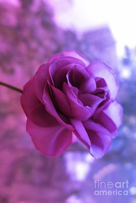 Photograph - Purple Rose by Tara Shalton