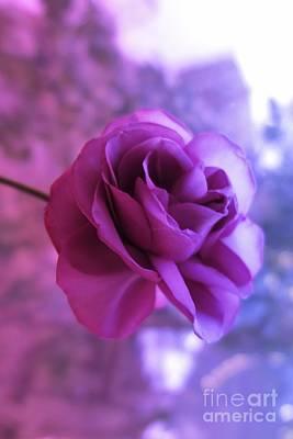 Photograph - Purple Rose by Tara Shalton