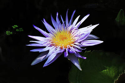 Photograph - Purple Water Lily by Grace Dillon