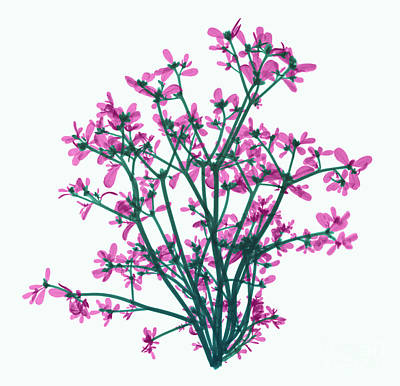 Purslane, X-ray Art Print by Ted Kinsman