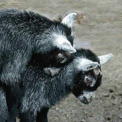 Photograph - Pygmy Goat Kid Siblings by William Bitman