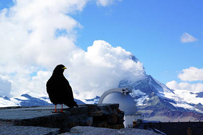 Pyrrhocorax Graculus And Matterhorn Original