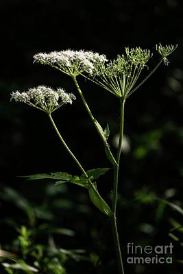 Photograph - Queen Anne Lace by David Bearden
