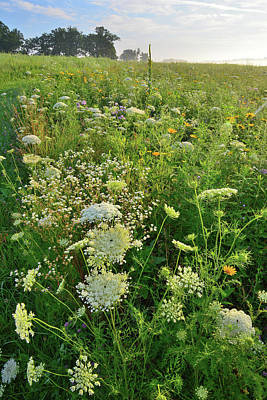 Photograph - Queen Anne's Lace At Sunrise In Glacial Park by Ray Mathis