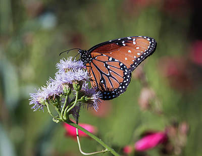 Photograph - Queen Butterfly-img_283517 by Rosemary Woods-Desert Rose Images
