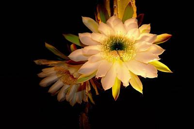 Photograph -  Night Blooming Cactus by Susan Duda