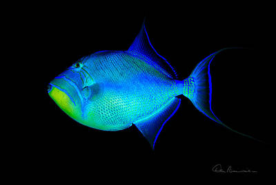 Queen Triggerfish 4773 Art Print by Dan Beauvais