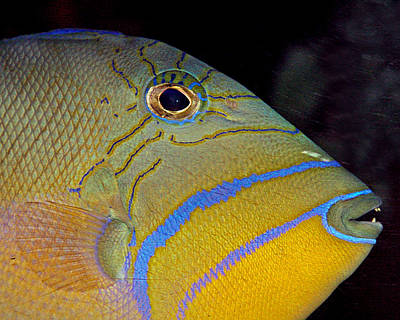 Triggerfish Photograph - Queen Triggerfish by Larry Linton